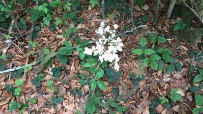 Jeden Frühling bildet diese kleine Buche schneeweisse Blätter. (Bild: Waldregion 5, Toggenburg)