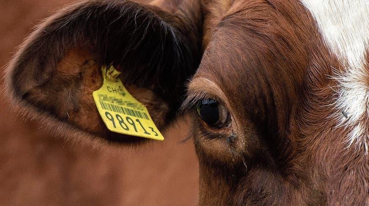 Hornkuh-Initiative: Kühe leiden unter dem Enthornen ein Leben lang