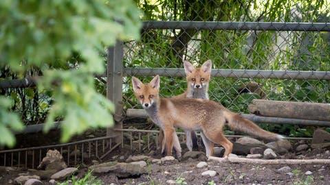 Füchse - hier zwei Tiere aus dem St.Galler Wildpark Peter und Paul - taten sich einst in Dietfurt an Schlachtabfällen gütlich. (Bild: Michel Canonica)