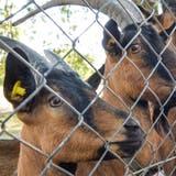 Die Geisslein im Tierpark Kreuzlingen können sich auf eine neue Weide freuen. (Bild: Donato Caspari)