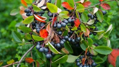 Die Apfelbeeren (Aronia) sind eine Pflanzengattung mit etwa drei bis neun Arten. (Bild: Coralie Wenger, September 2012)