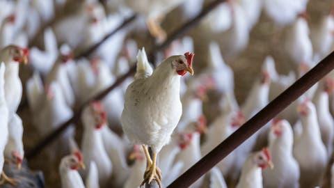 80000 Hühner - Legehennen oder Mastpoulets - leben alleine in Gossau.