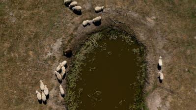 Schafe stehen auf einem von der Sonne ausgebleichten Feld um ein Wasserloch herum. Luftaufnahme mit Drohne. (Bild: Keystone/dpa/Axel Heimken)