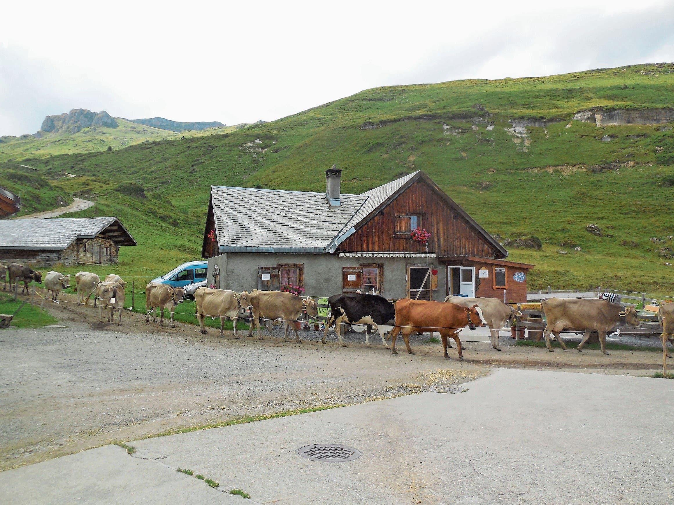 Nur für kurze Zeit im Stall: Während den Sommermonaten befinden sich die Kühe Tags- und Nachtsüber auf den würzigen Alpweiden und sind nur für den Melkvorgang morgens und abends kurz im Alpstall. (Bild: Bilder: Marco Bolt/PD)