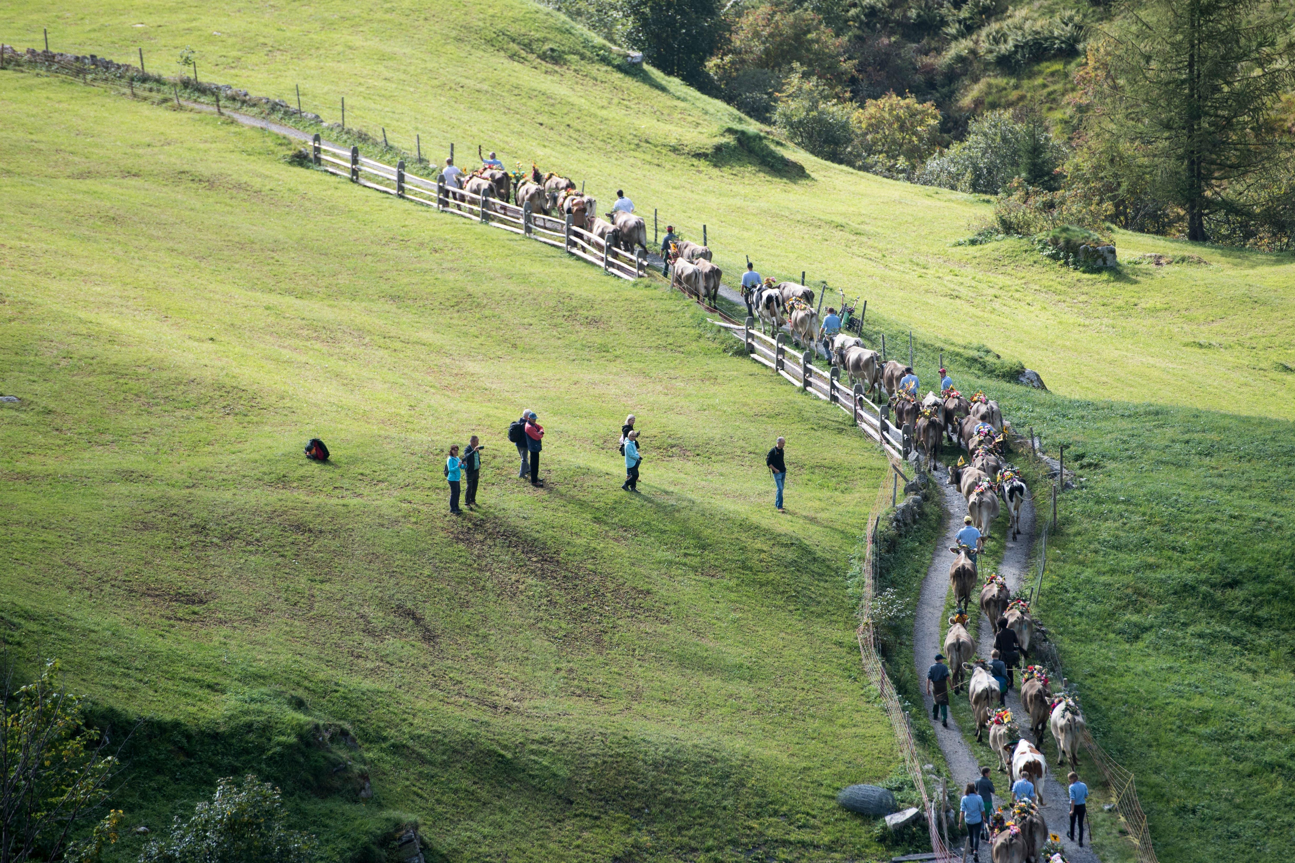 Die Alpkuehe der Alp Hinterfeld im Meiental am Sustenpass im Kanton Uri ziehen am fruehen Morgen des Samstag, 165. September 2018 mit einem langen Alpabzug nach Wassen. (KEYSTONE/Urs Flueeler)