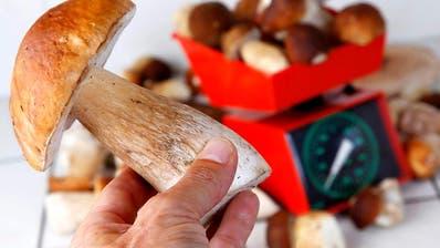 Das Sammeln von Pilzen will gelernt sein. Kenntnisse über die verschiedenen Pilzarten und diePilzschutzverordnung sind ein Muss. (Archivbild: Gaetan Bally / Keystone)