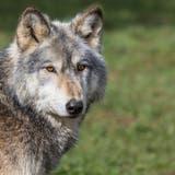 Der Wolf hat in Flühli mehrere Schafe gerissen. (Symbolbild: Getty)