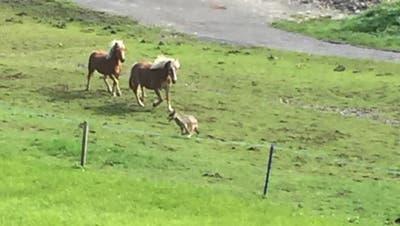 Der mutmassliche Wolf wurde am vergangenen Sonntag in Egg bei Einsiedeln (SZ) gesichtet. (Bild: Jeannette Kuriger, Egg bei Einsiedeln, 16. September 2018)
