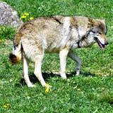 Ungefährlich im Gegensatz zu seinen frei lebenden Artgenossen: Ein Wolf im Tierpark Goldau. (Bild: Romano Cuonz)