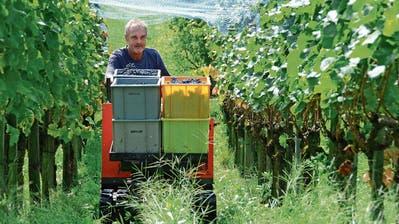 Saxer Weinbauer freut sich über qualitativ und quantitativ gute Ernte
