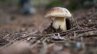 Pilze - wie dieser Steinpilz - schiessen derzeit in den Luzerner Wäldern aus dem Boden. (Bild: Boris Bürgisser;Fräkmüntegg, 20. September 2018)