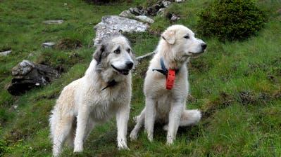 Zwei Herdenschutzhunde bewachen eineSchafherde. (BildNadia Schärli)