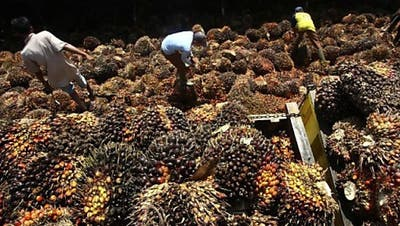 Ständerat will Palmöl beim Freihandel nicht ausklammern