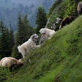 Zwei Herdenschutzhunde bewachen eine Schafherde. (Bild: Nadia Schärli)