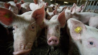 SP-Kantonsrat Hasan Candan will die Anzahl Schweine auf Luzerner Höfen regulieren. (Bild: Pius Amrein, 5. Juli 2016)