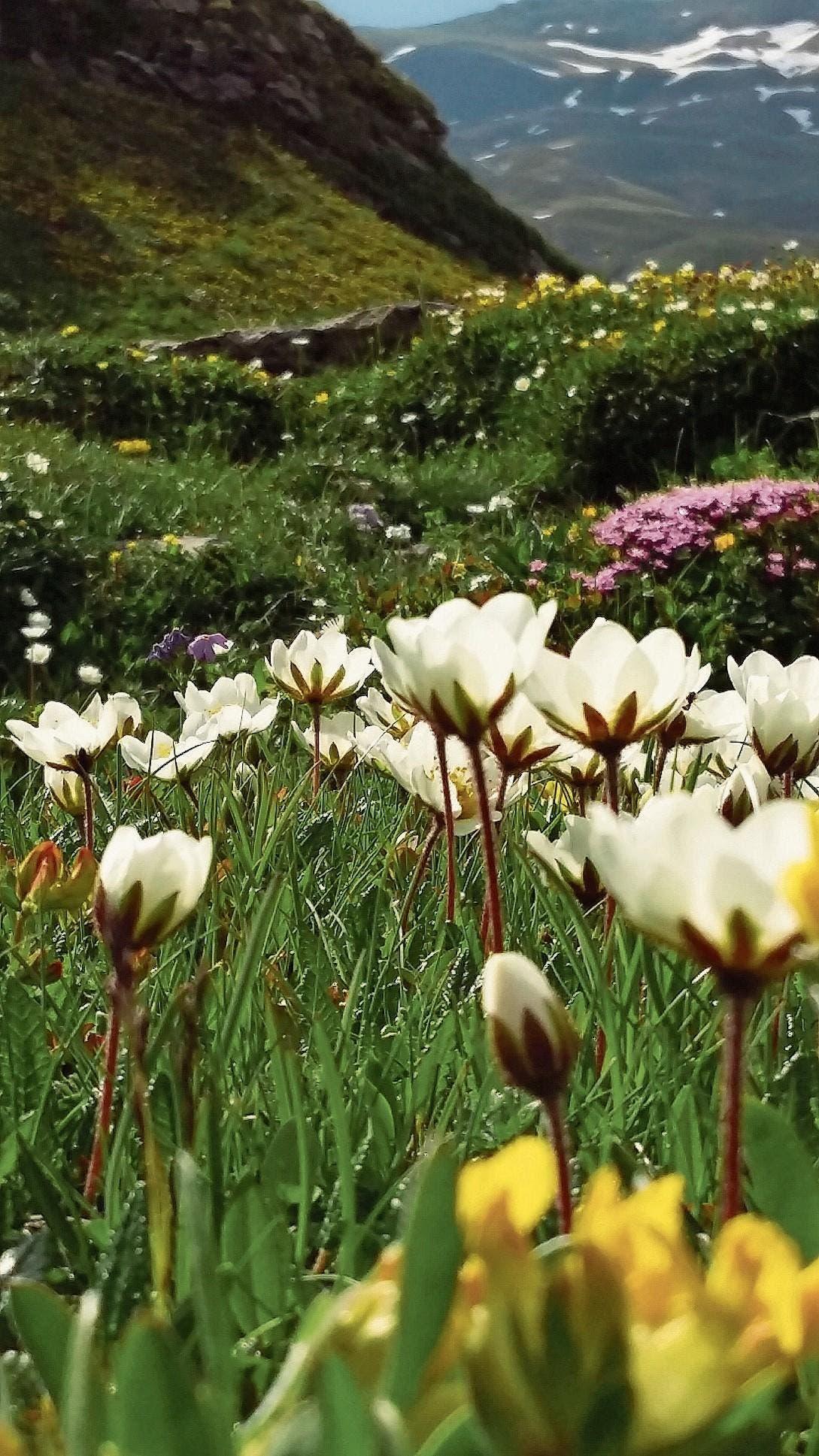 Diese wunderbare reichhaltige Alpenflora blühte auf Melchsee-Frutt. (Bild: Danielle Berchtold)