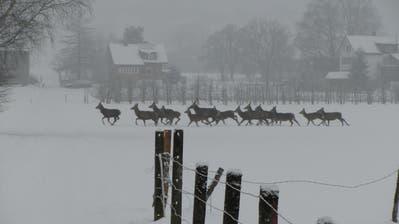 Liegt in den höheren Lagen viel Schnee, ziehen die Hirsche jeweils ins Tal auf der Suche nach Futter. (Bild: Archiv/Peter Eggenberger)