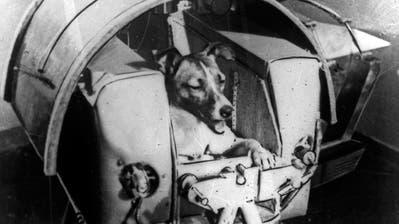 Hund Laika ist das erste Lebewesen, das die Sowjets ins Weltall schicken. Er überlebt nur wenige Stunden. (Bild: Getty Images)