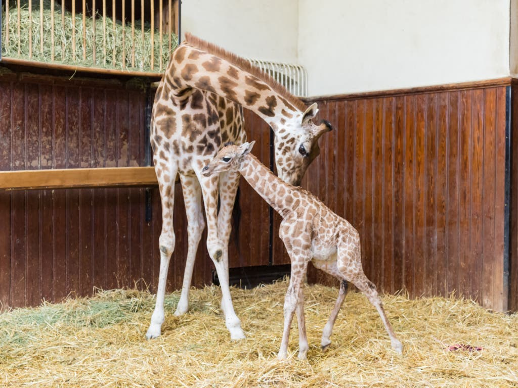 Die junge Giraffe Penda und ihre Mutter Sophie im Zoo Basel. (Bild: Keystone/Zoo Basel (Torben Weber))