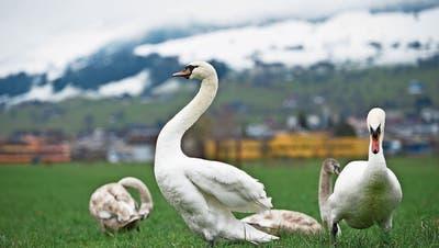 Abschusspläne für Schwäne in Nidwalden erhitzen die Gemüter