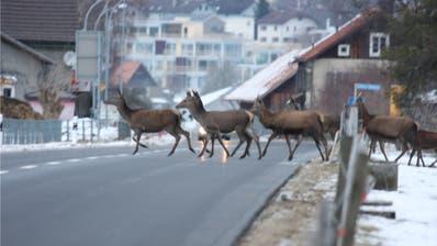 Vielerorts kommt es derzeit zu starkem Wildwechsel. (Bild: PD)