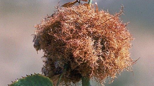 Dieses Gebilde wird Schlafapfel, Heilandsbart oder Rosenapfel genannt. (Bild: Siegfried Keller)