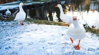 Neugierige Vögel: Der Einwohnerverein Bruggen sucht für die Gänse am Moosweier ein neues Plätzchen. (Bild: Sabrina Stübi, 5. Dezember 2017)