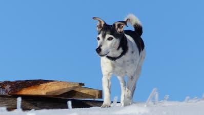 Am Tag des 1.Januar ging es Blacky noch blendend. Er tobte sich im frisch gefallenen Schnee im Toggenburg aus. Es sollte sein letztes Winter-Abenteuer sein. (Bild: PD)