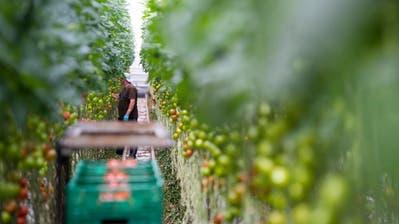 Tomaten aus Hors-sol-Produktion in einem Gewächshaus im Kanton Waadt.(Bild: Jean-Christophe Bott, Keystone)