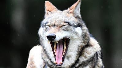 Der Wolf ist zurück im Thurgau und hat ein weiteres Mal zugeschlagen. (Archivbild: Keystone)