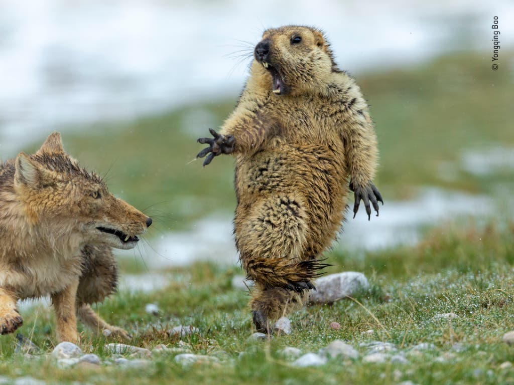 Humor und Horror in einem: Die Dramatik der Aufnahme hat die Jury des Wettbewerbs «Wildlife Photographer of the Year» überzeugt. (Bild: Yongqing Bao, China)