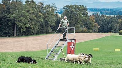 Die Schafe müssen in unter 15 Minuten durch den Parcours geführt werden. Bild: Pius Amrein (Rain, 18. Oktober 2019)
