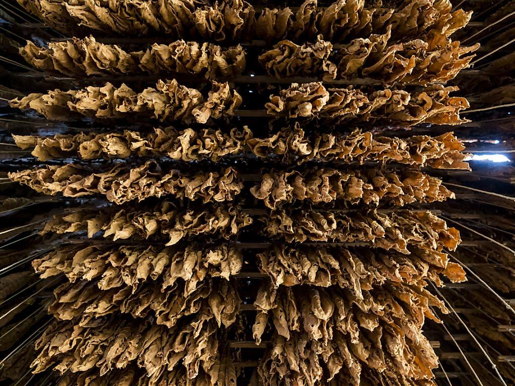 Zum Trocknen aufgehängte Tabakblätter. Der Marktanteil der Schweizer Tabakproduzenten im Inland ist klein. (Bild: KEYSTONE/JEAN-CHRISTOPHE BOTT)