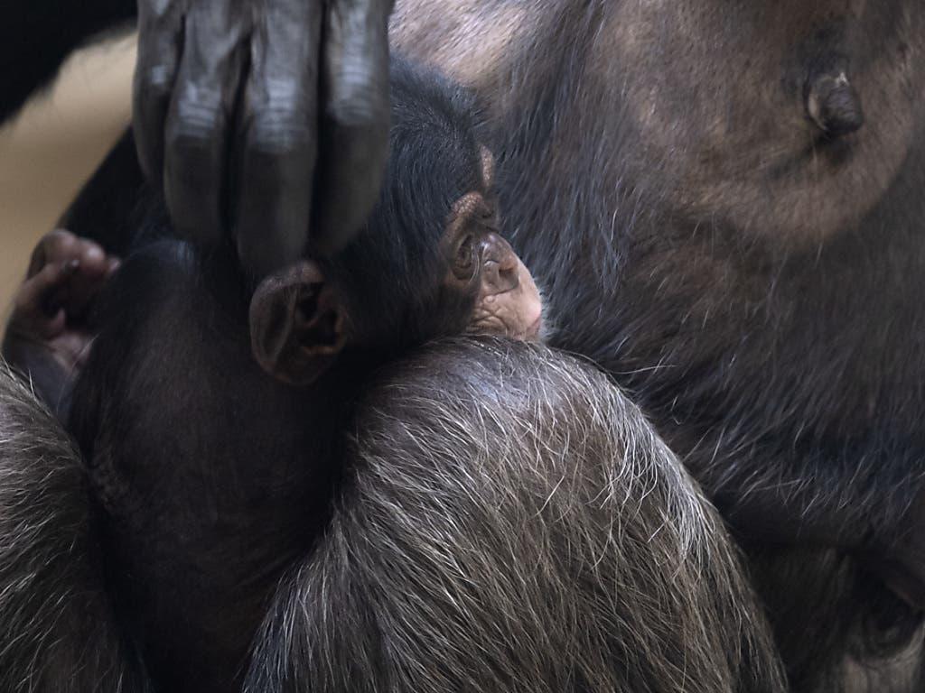 Quebo braucht von seiner Mutter Fifi noch viel Nähe. (Bild: KEYSTONE/GEORGIOS KEFALAS)