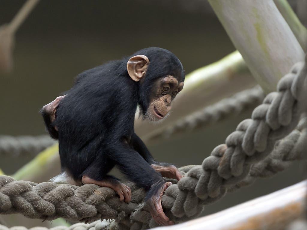 Quebo erblickte am 6. Oktober im Zoo Basel das Licht der Welt. (Bild: KEYSTONE/GEORGIOS KEFALAS)