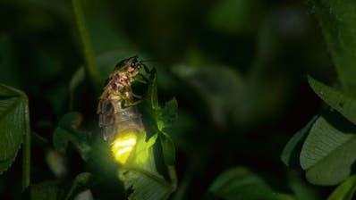 Auch Glühwürmchen sind von der Lichtverschmutzung betroffen. (Bild: PD)