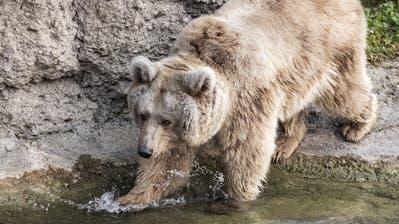 Laila, die neue Syrische Braunbärin im Tierpark Goldau. (Bild: Alexandra Wey/Keystone, Goldau, 25. November 2019)