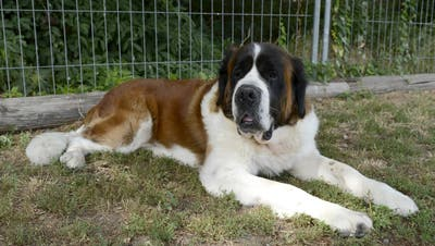 Bernhardiner sind eigentlich als sanftmütige Hunde bekannt. Im Rheintal gibt es aber ein Exemplar, das schon mehrfach zugebissen hat. (Symbolbild: Keystone)