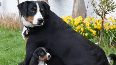 In vielen Gemeinden steigt 2020 die Hundesteuer. (Martina Basista)