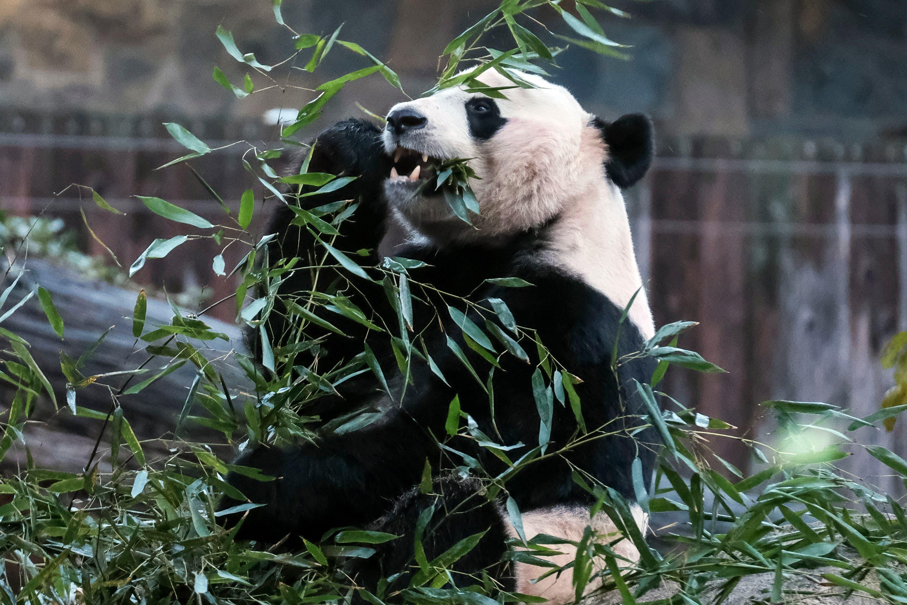 Panda: Erfolg für den Artenschutz: Der Grosse Panda gilt nicht mehr als vom Aussterben bedroht. Die Experten führen den Erfolg auf die Aufforstung von Bambuswäldern in China sowie die Leihgabe von Pandas zur Fortpflanzung an Zoos zurück. Nach jüngsten Schätzungen leben derzeit 1864 Pandabären in freier Wildbahn. In den 1980er Jahren, zum Tiefpunkt der Panda-Zahlen, waren es weniger als 1000 Tiere. Trotzdem ist die Tierart auf der Roten Liste noch immer als «gefährdet» eingestuft. (Bild: Keystone)
