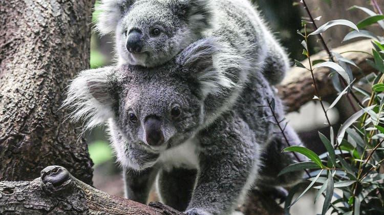 Hunderte Koalas verenden in den Flammen — auch andere Tierarten kämpfen ums Überleben