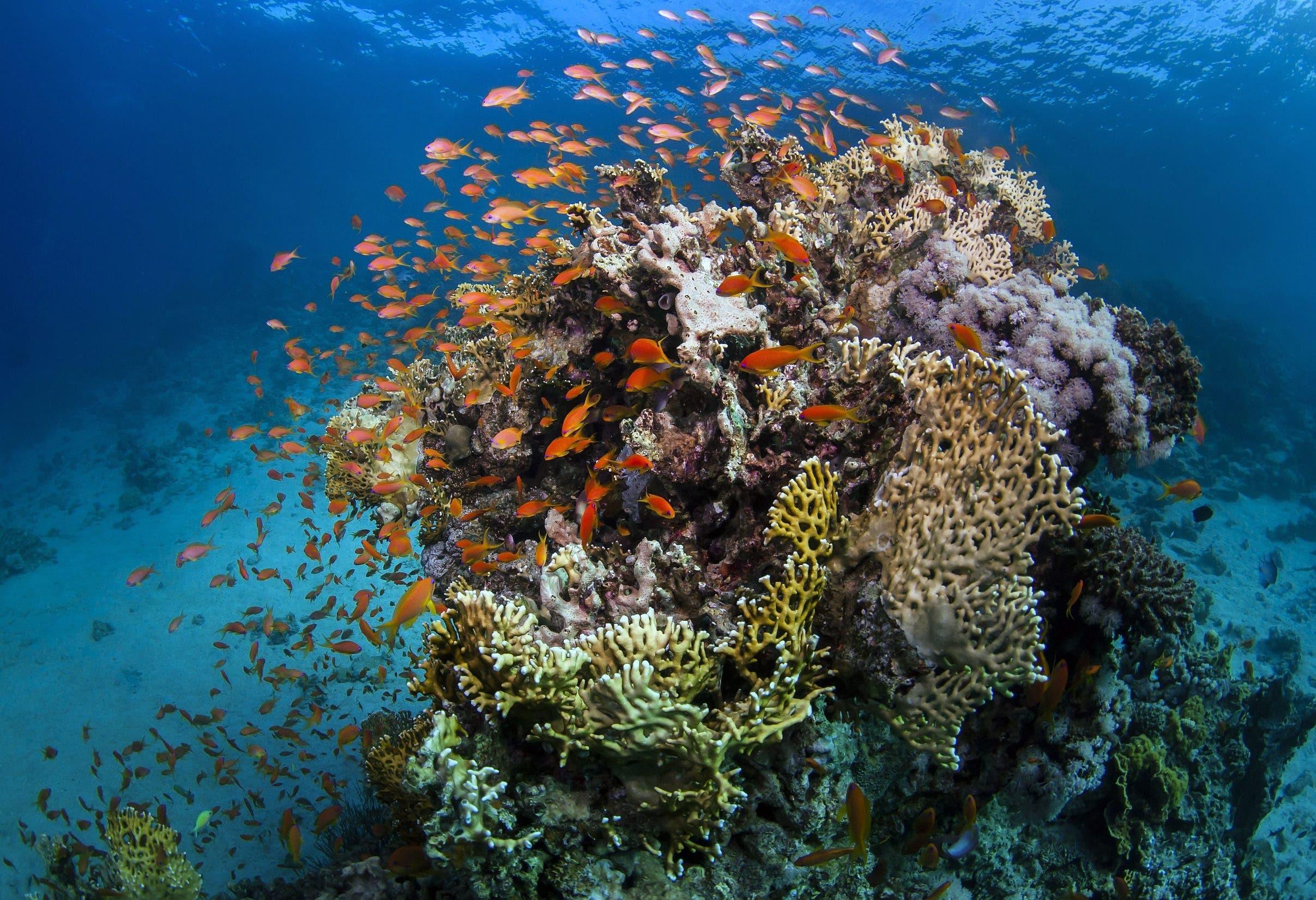 So stellen wir uns Korallenriffe vor: schillernd, bunt, voller Leben. (Bild: Keystone)