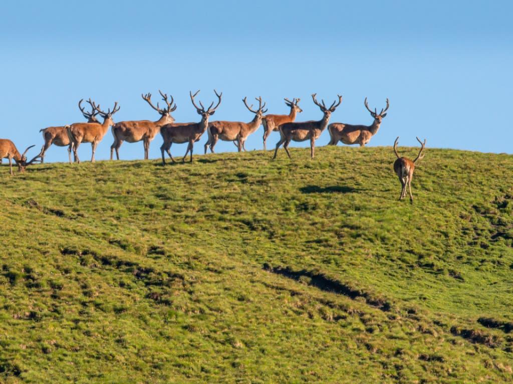 Die Bergwiesen im Schweizerischen Nationalpark bieten unter anderem Rudeln von Rothirschen Nahrung. (Bild: Hans Lozza, SNP)
