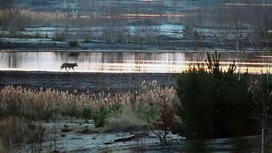 Seltene Aufnahmen, wie auf diesem Bild aus der Lausitz in Deutschland. In «Die Rückkehr der Wölfe» gibt es mehrere davon, auch spektakuläre. (Bild: Mythenfilm)