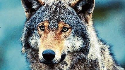 Auch nach den Wolfsrissen wurde der Herdenschutz im Appenzellerland kaum verstärkt.