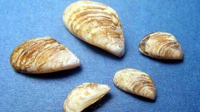 Quagga-Muschel breitet sich massenhaft im Bodensee aus und richtet Schäden an