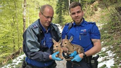 Im Mai mussten Stadtpolizisten zwei Rehkitze, die sich verirrt hatten, einfangen, betreuen und dann zur Rehmutter zurückbringen. (Bilder: Stapo St.Gallen)
