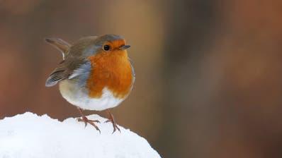Dieser Vogel ist im Winter hier geblieben: DasRotkehlchen plustert sein Gefieder auf. Die Luft im Federkleid wirkt wie eine Wärmeisolation. (Bild: PD/Frank Vassen)