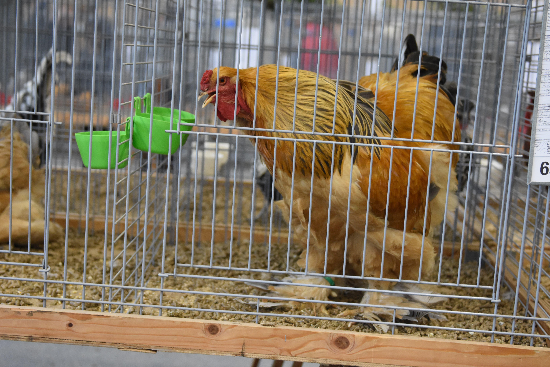 Über 900 Geflügel und Kaninchen an der Kleintierausstellung in Gais zu sehen.