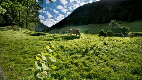 Eine weidende Kuh in der Lammschlucht zwischen Schüpfheim und Flühli im Entlebuch im Kanton Luzern. ((Bild: PD/Schweiz Tourismus/Renato Bagattini))